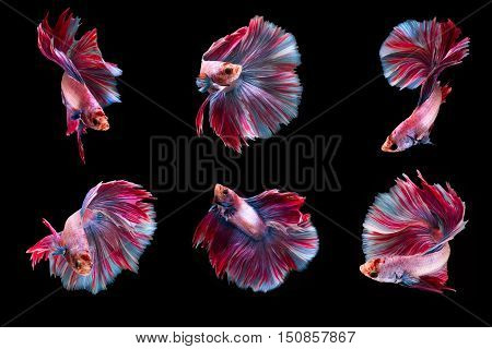 6 Moment Siamese Fighting Fish on black background