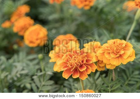 Close up of yellow marigold flowers on green leaf.