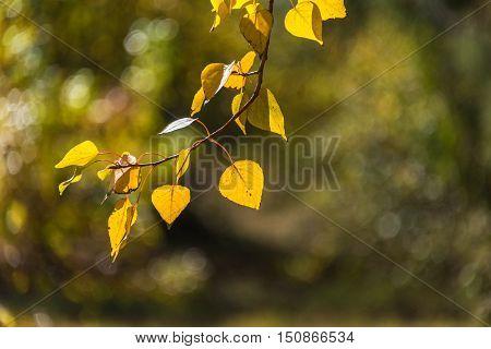 Autumn Leaves Background. Yellow Foliage Texture
