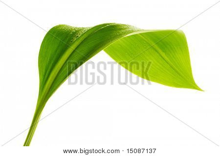 green leaf with drops of water on white background