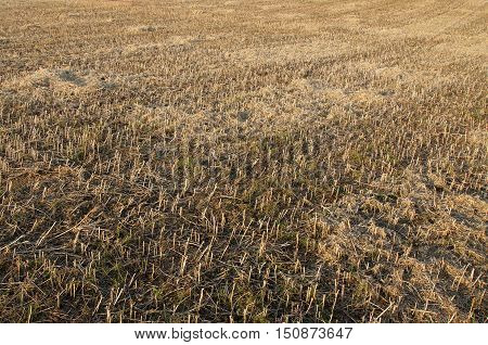 A field of straw stubble in autumn at sunset