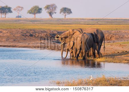 Group Of African Elephants Drinking Water From Chobe River At Sunset. Wildlife Safari And Boat Cruis