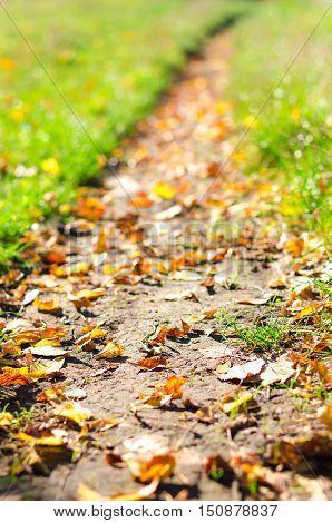 forest autumn footpath strewn fallen maple leaves