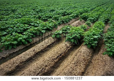 Rows of Potatoes in Field, Green Potatoes Vegetables Plants