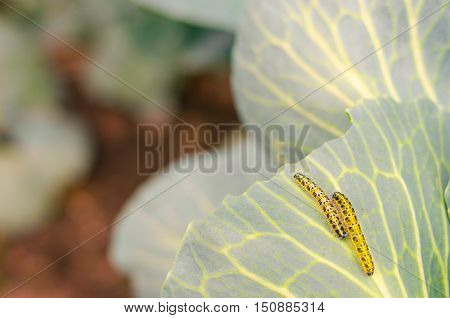 Shaggy Caterpillars Of The Cabbage Butterfly On Cabbage Leaf.