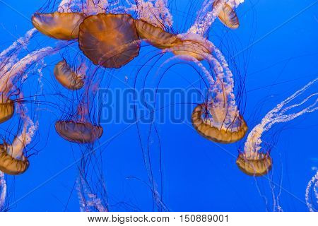 Jelly Fishes In The Deep Blue Ocean