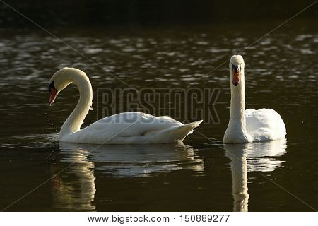Two White swans swimming water landscape well-lit
