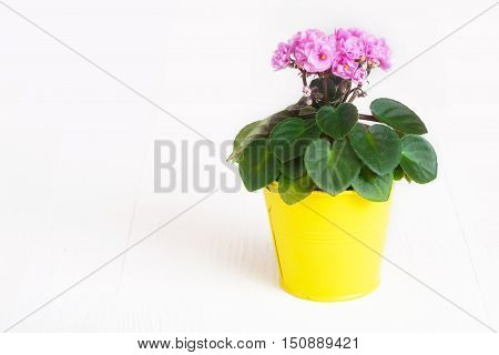 Pink Saintpaulia in a yellow flowerpot on white background close up
