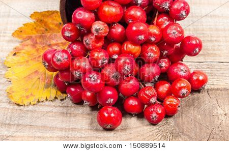 Closeup of fresh hawthorn fruit on wooden background.