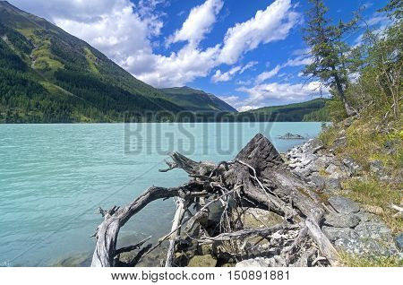 Stump on the lake shore. Kucherla lake. Altai Mountains Russia. Sunny summer day.