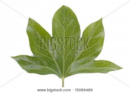 Green Leaf Over White