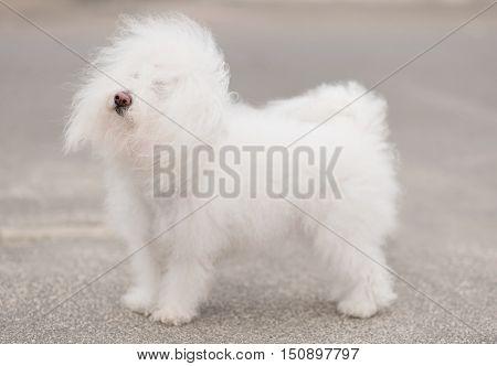 Portrait Of A Bichon Havanese Dog