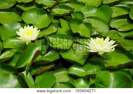 Yellow water lilies blooming on top of lily pads in a small pond.