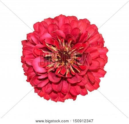 Red zinnia flower close up isolated on white background