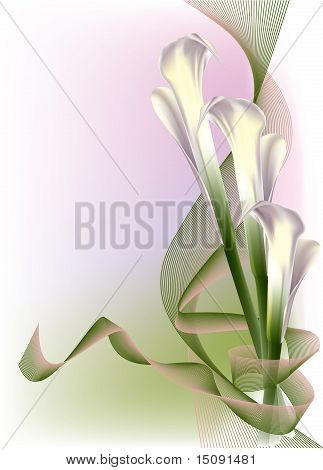 Beautiful white calla lily with ribbons