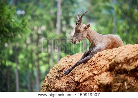 Portrait of a cute young Ibex in the Alps