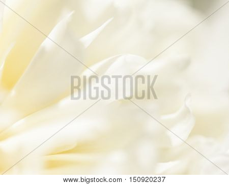 The close up of white flower petal, shades of white, teal, soft dreamy image