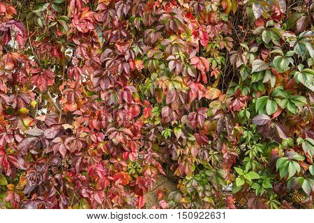 Virginia Creeper in autumn colors. Red and green leaves of decorative grapes on a wall fall
