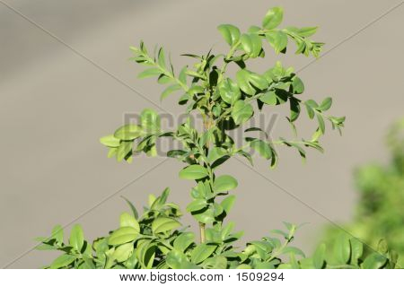 Green Leafs (Leaves)
