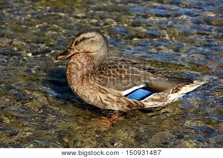 The wild duck on the river bank