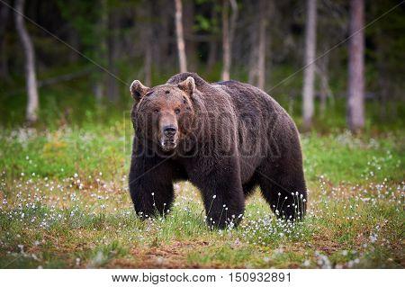 Big male brown bear walking in Finnish taiga meanwhile looks around