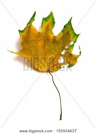 Autumn Dry Multicolor Maple Leaf With Holes
