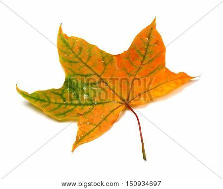Autumn Multicolor Maple-leafs With Water Drops
