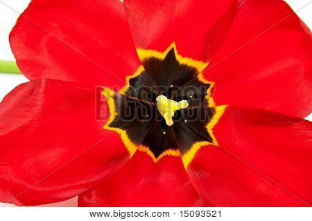 Macro Of Open Red Tulip