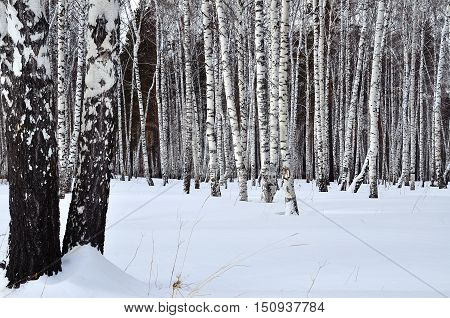Winter landscape in a birch grove. Black and white birch trunks in dazzling white snow. Winter background.