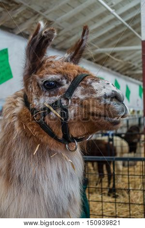 A portrait of a brown Alpaca with pointy ears.