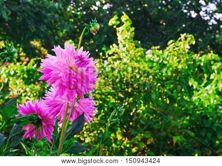 Bouquet of pink aster flowers green trees the buds of pink asters background space for text