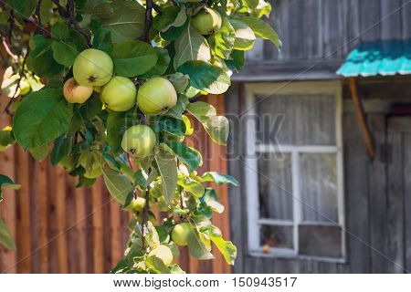 Apple tree branch with apples harvest rustic wooden house window on the windowsill green apple