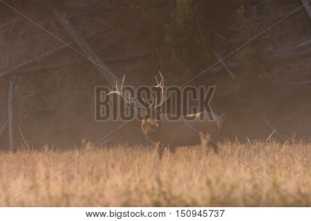 a bull elk bugling in a foggy meadow in the rut