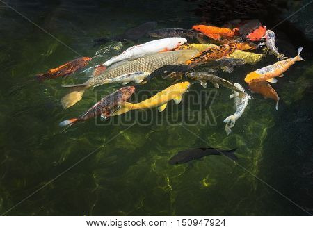 Karp Fish In Pond