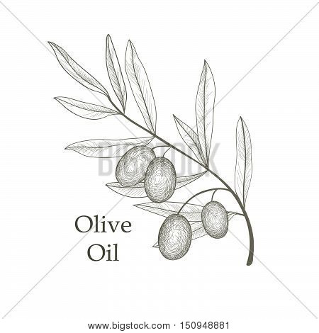 Olive Tree Branch With Olives Isolated Sketch Over White Background Retro Floral Natural Olive Branc
