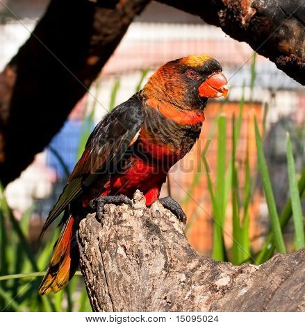 Black and red parrot sitting on a tree stump