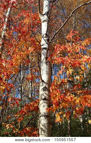Colorful Aspen tree with bright fall colors.