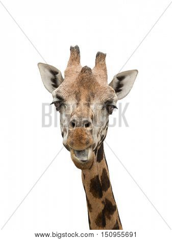 Giraffes closeup portrait isolated on white background