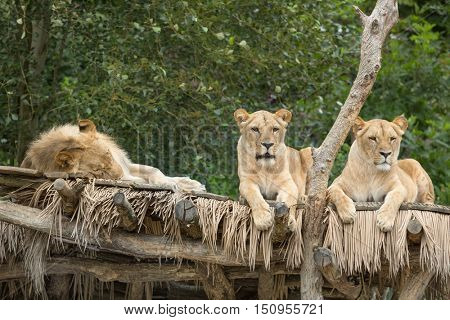 a group of lions in the zoo