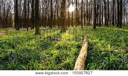 Wild British forest with a blue bells flowers