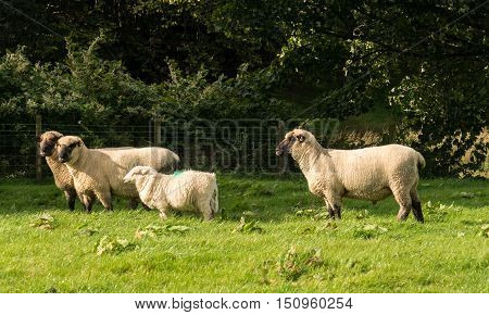 Side View Of Shropshire Sheep In Meadow