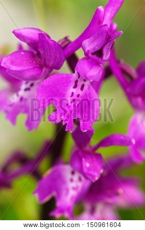 Early Purple Orchid Flowers – Orchis Mascula