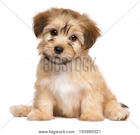 Cute havanese puppy dog is sitting frontal and looking at camera isolated on white background