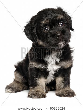 Cute sitting black and tan havanese puppy dog isolated on white background