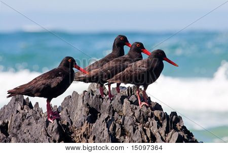 African Oyster Catchers sitting on a jagged rock with his food at the sea shore
