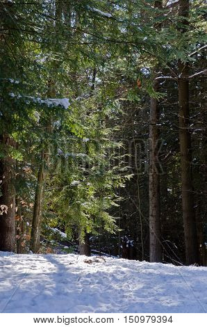 Picture of the Canadian forest in winter time