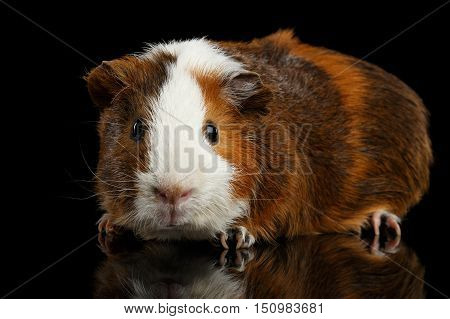 Close-up Red Guinea pig on isolated black background with reflection