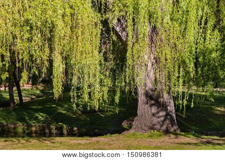 close up of weeping willow tree in springtime