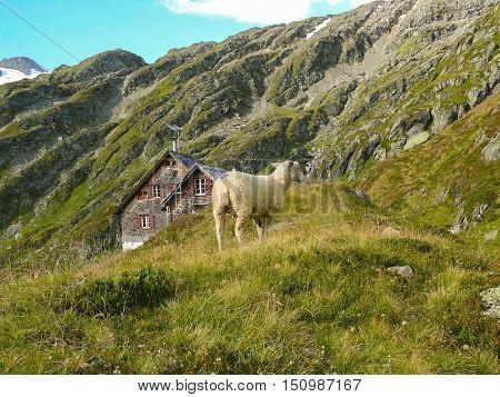 Sheep on alpine glacier mountain and gauli house on the Alpine glacier mountains in switzerland