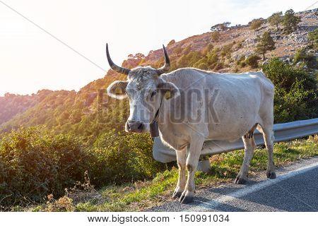 Cow is on trail in mountains Sanctuary Mentorella, Lazio, Italy
